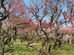 "The scenery of ""plum blossoms and a nightingale"" has been loved by Japanese since over 1000 years ago!"