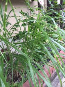 Japanese silver grass for tea ceremony