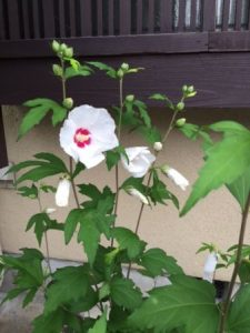Japanese rose of Sharon