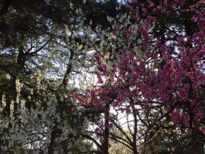 Japanese peach blossoms