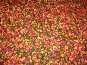 Red maple leaves in Kyoto