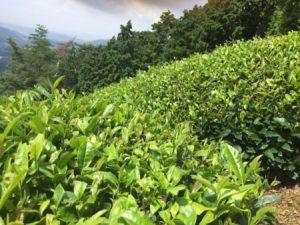 Wazuka tea farm Kyoto