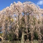 cherry blossom in Kyoto imperial palace