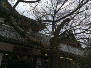 kitano cherry blossom in Kyoto